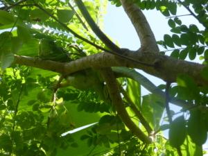 Ignane endémique terre de haut
